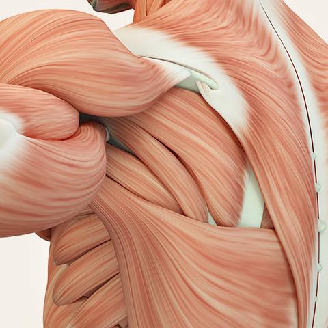 Illustration Muskelfasern der linken Schulter und Rücken