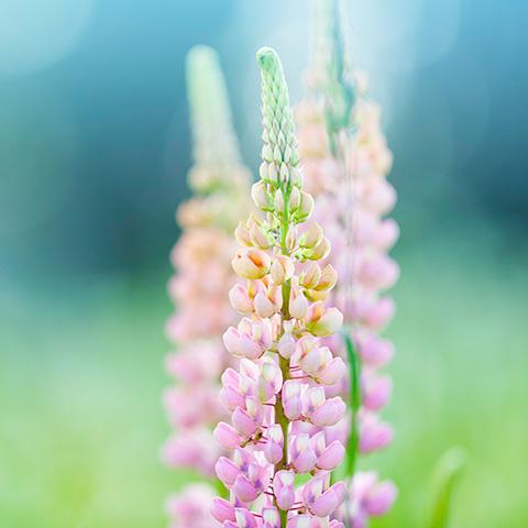 Lupinenpflanze mit violetten Blüten.
