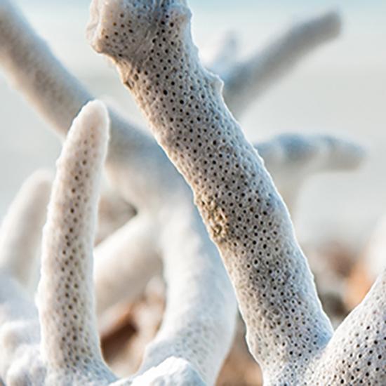 Sango Koralle aus Okinawa