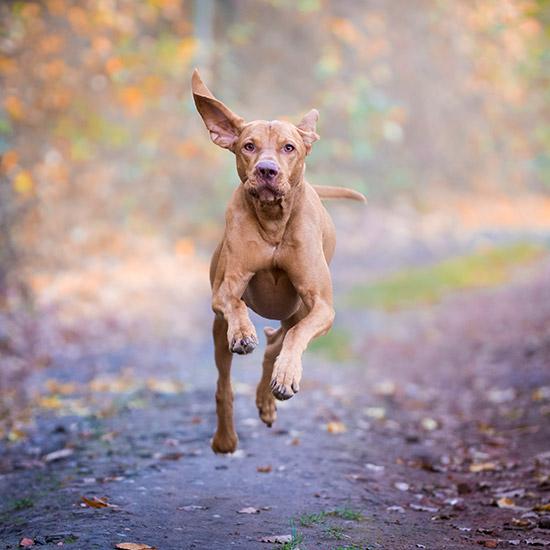 Hund rennt auf Waldweg mit fliegenden Ohren.