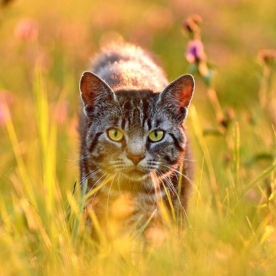 Gestreifte Katze, die durch hohes Gras streift.