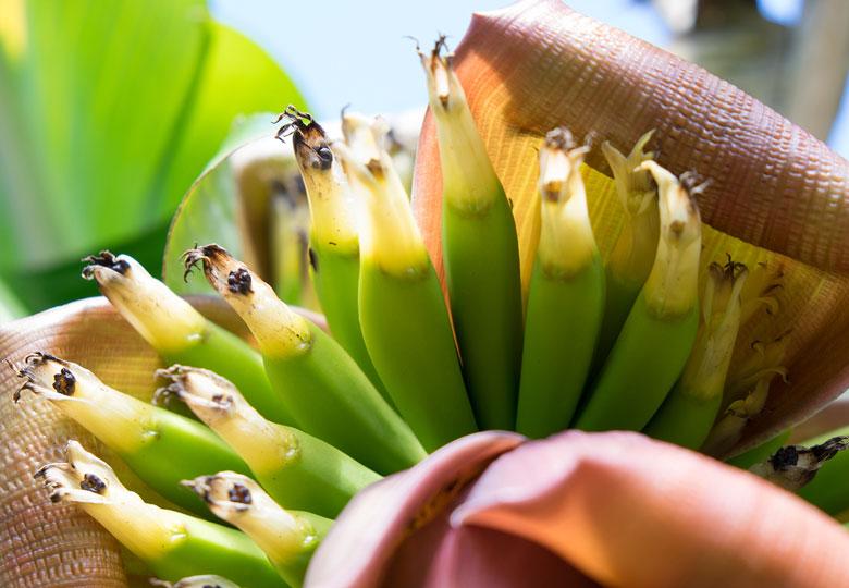 Bananenbküten von Govinda