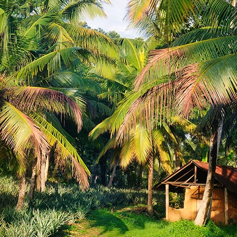 Coconut plantage