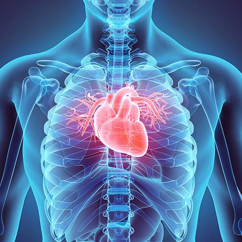 Brustkorb mit farblich hervorstechendem Herzen