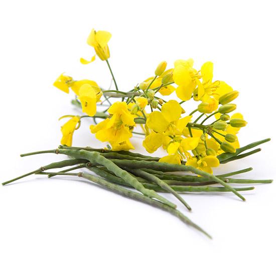 Wertvolle Senfpflanze