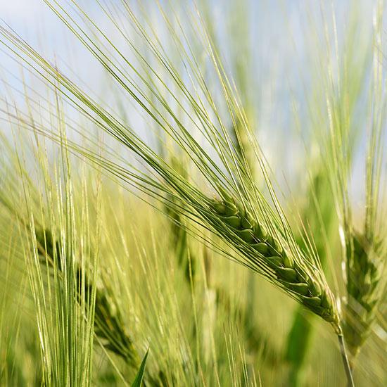 Getreide auf einem Feld
