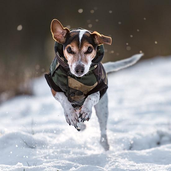Hund mit Mantel, der im Schnee rennt.