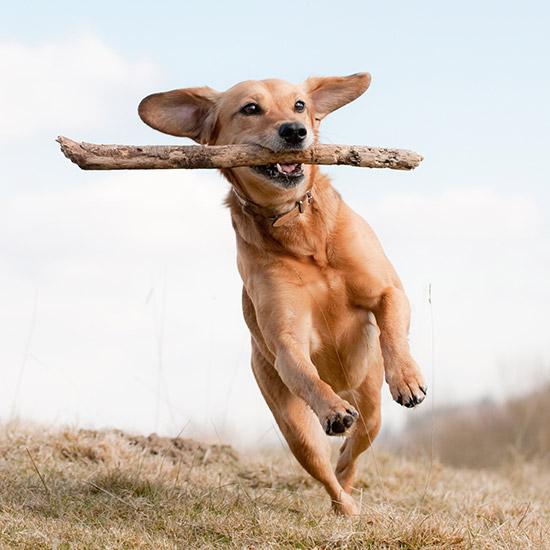 Springender Hund mit Stock im Maul.