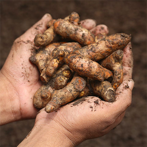 Hands holding turmeric root