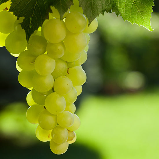 Green grapes hanging from a tree