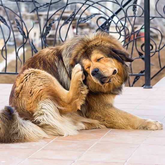 Grosser, haariger Hund kratzt sich mit Pfote am Ohr,