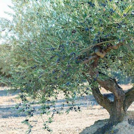 Olivenöl virgen extra - Casas de Hualdo - 500ml