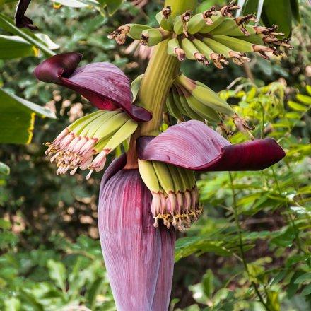 Bananenblüte als Fleischalternative