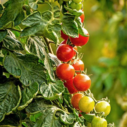 Erlesene Tomaten
