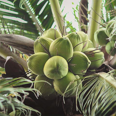 Coconuts in a tree
