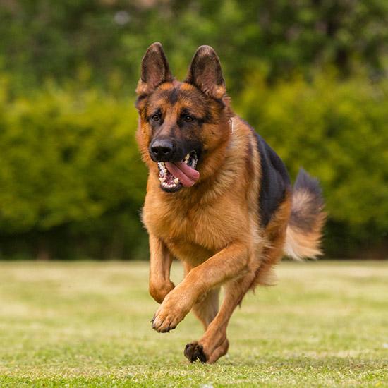 Grosser Schäferhund, der rennt.