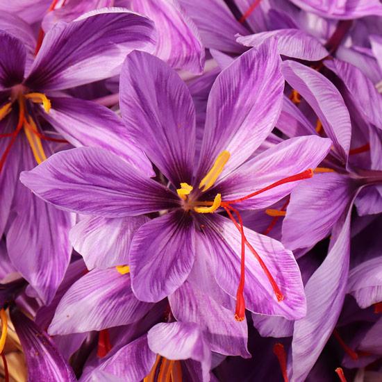 Safran - eine Krokuspflanze