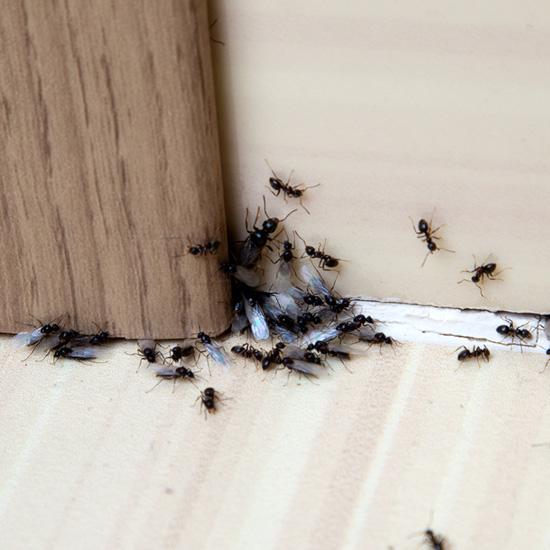 Ameisenpuder