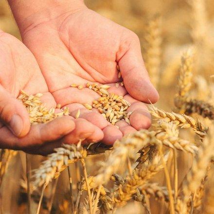 Vollgran Weizenkeime - fermentiert nach Dr. Grandel