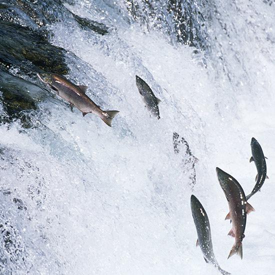 Astaxanthin ist beliebt bei Lachsen