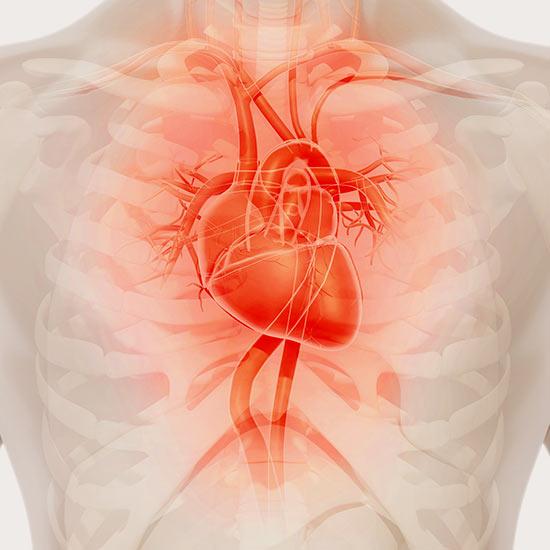 Für die Herzmuskulatur