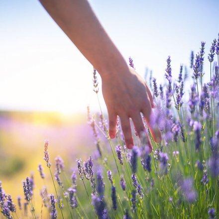 Weichspüler Lavendel