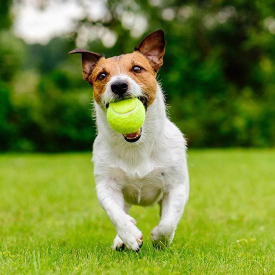 Rennender Hund mit Tennisball im Mund.