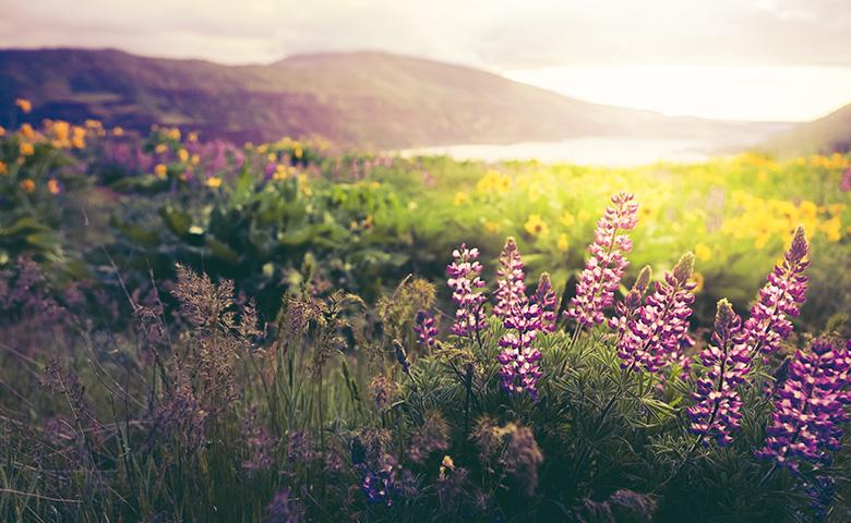 Sonnenuntergang über Wildblumenfeld mit Lupinenblumen.
