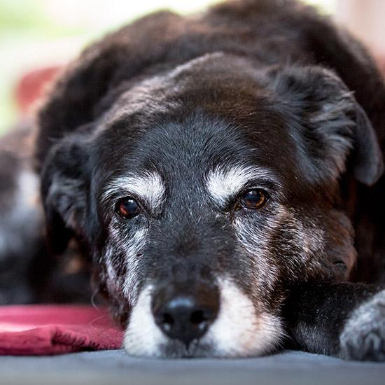 Grossaufnahme Hund, der traurig guckt.