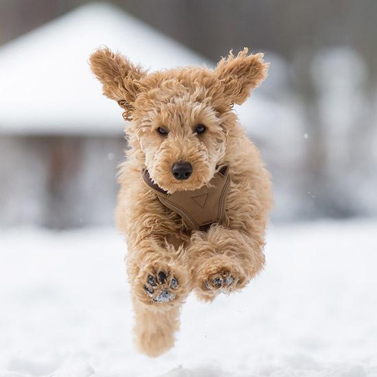 Rennender Hund im Schnee.