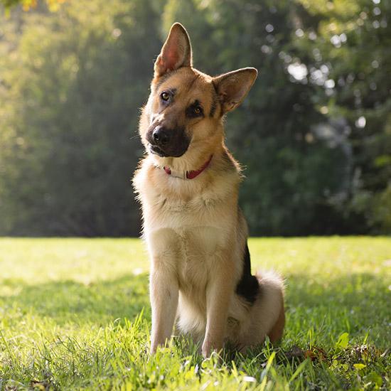 Schäferhund sitzt auf Wiese.