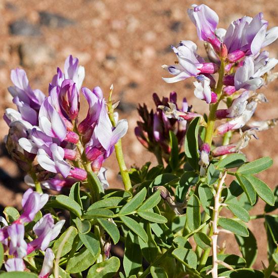 Blühender Abschnitt der Astragalus Pflanze