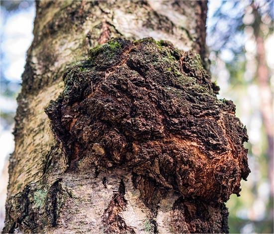Der Chaga-Pilz in seiner natürlichen Umgebung
