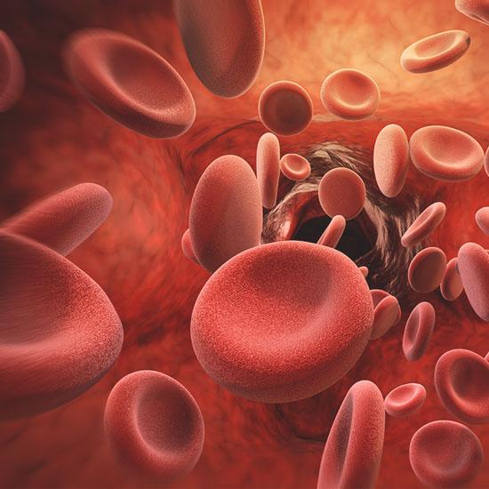 Bildung roter Blutkörperchen