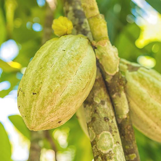 Kakao - zu 100 Prozent aus biologischem Anbau