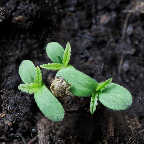 Junge Hanfpflanze