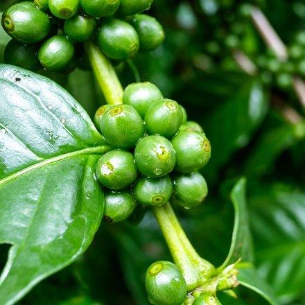 Grüner Kaffee - für Einläufe